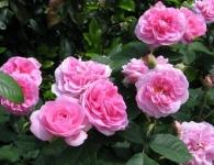 Staudengärtnerei Pfungstadt Englische Rosen